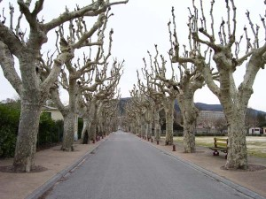We walk up the road to Viviers, winter-bare plane trees on both sides.