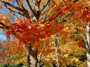 Some of the trees seem almost to flame in their fall splendor.