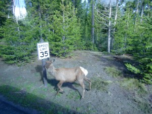 This deer in Yellowstone Park has to slow down to 35 mph!