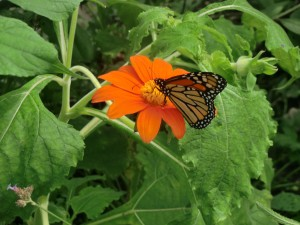 Many butterflies flit around in the farmer's butterfly enclosure. Here a monarch visits a bright flower.