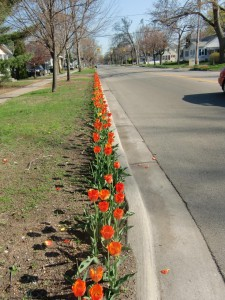 Tulips bloom along the curbs for the length of this street.