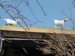 The goats grazing on the sod roof of Al Johnson's Restaurant in Sister Bay.