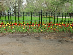 Tulips at the estate of Wisconsin's Governor, Scott Walker