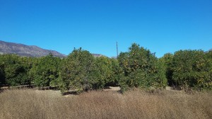 We pass through miles of orange, lemon and avocado groves.
