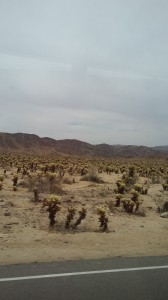 "This extensive display of cholla cactus, called ""Teddybear Cactus"" looks as though it were planted."