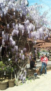 Trailing vines of wisteria greet us at the entrance of Descanso Gardens.