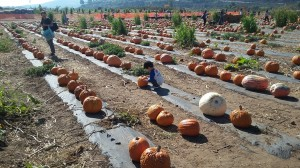 This is what is left of a vast pumpkin patch. A child chooses the one he wants.