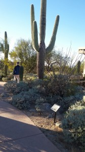 Some of the older saguaros are 50 feet high.
