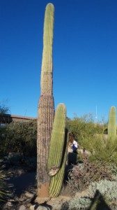 Wood-like ribs run the length of the cactus, keeping it rigid.